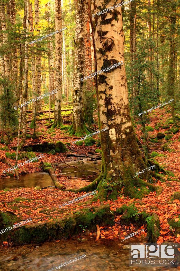 Imagen: Forest landscape in Ordesa valley. Huesca.