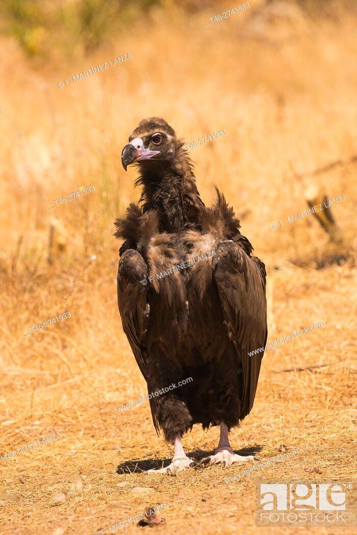 Stock Photo: black vulture (Aegypius monachus). Photographed in Fresnedilla de la Oliva, Madrid.