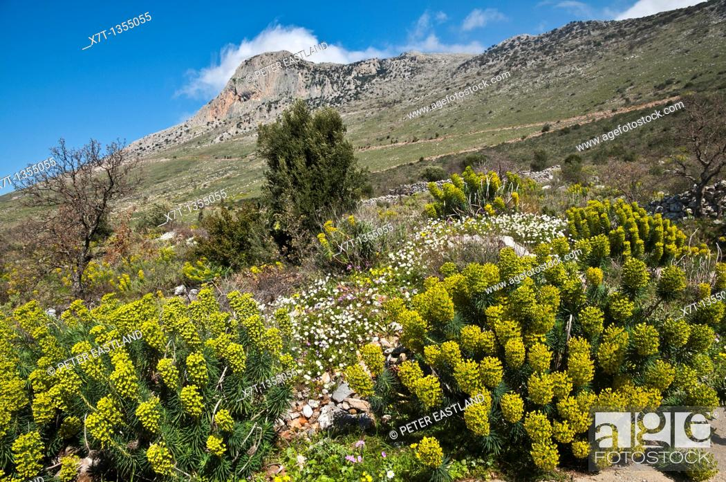 Stock Photo: Springtime, a riot of Euphorbia and other wild flowers, above Agios Nikon in the Outer Mani, Southern Peloponnese, Greece.