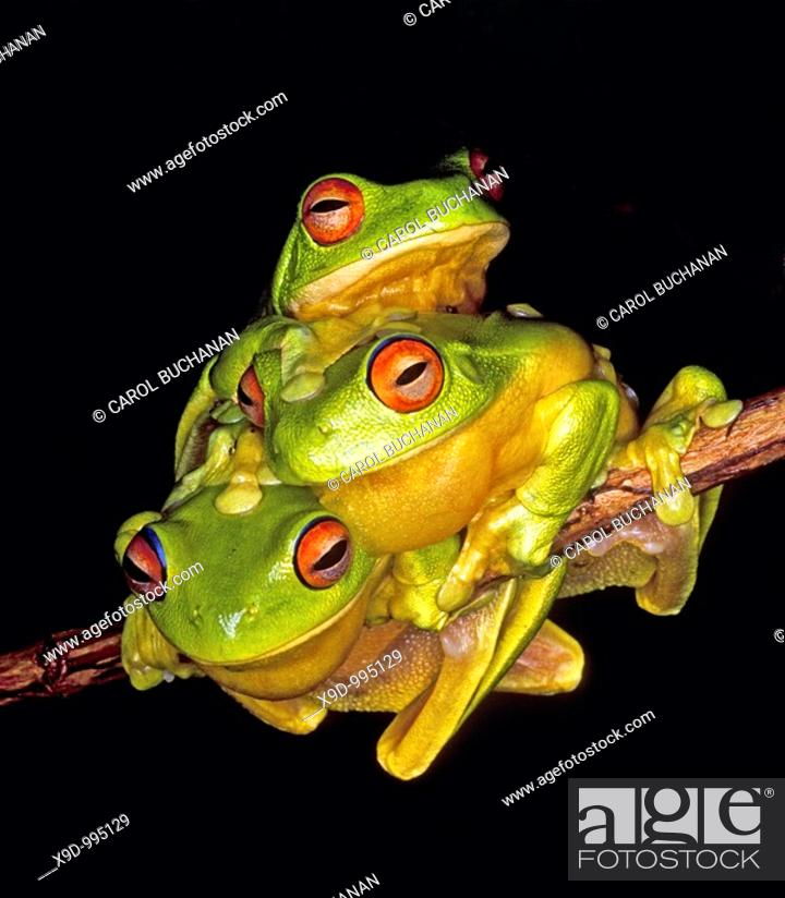 Stock Photo: Three Red-Eyed Tree Frogs  Litoria chloris  Coffs Harbour, east coast NSW, Australia  After heavy summer rains, these frogs gather together in the hope of.
