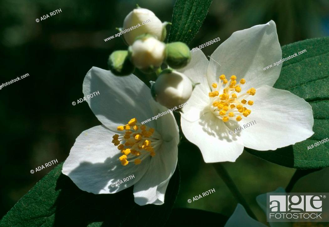 Stock Photo: Philadelphus coronarius - white - pretty and delicate - exhaling a sweet perfume.