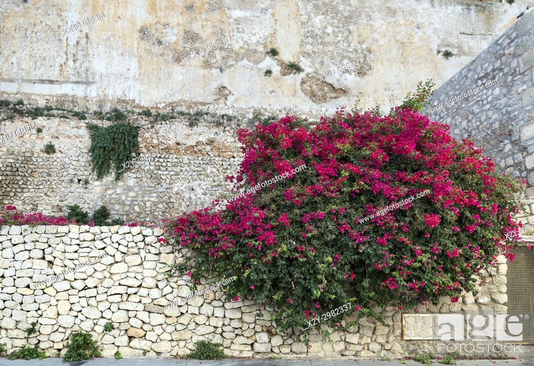 Stock Photo: Bougainvillea flowers, Ibiza Town, Dalt Vila, Balearic Islands, Spain, Europe, .