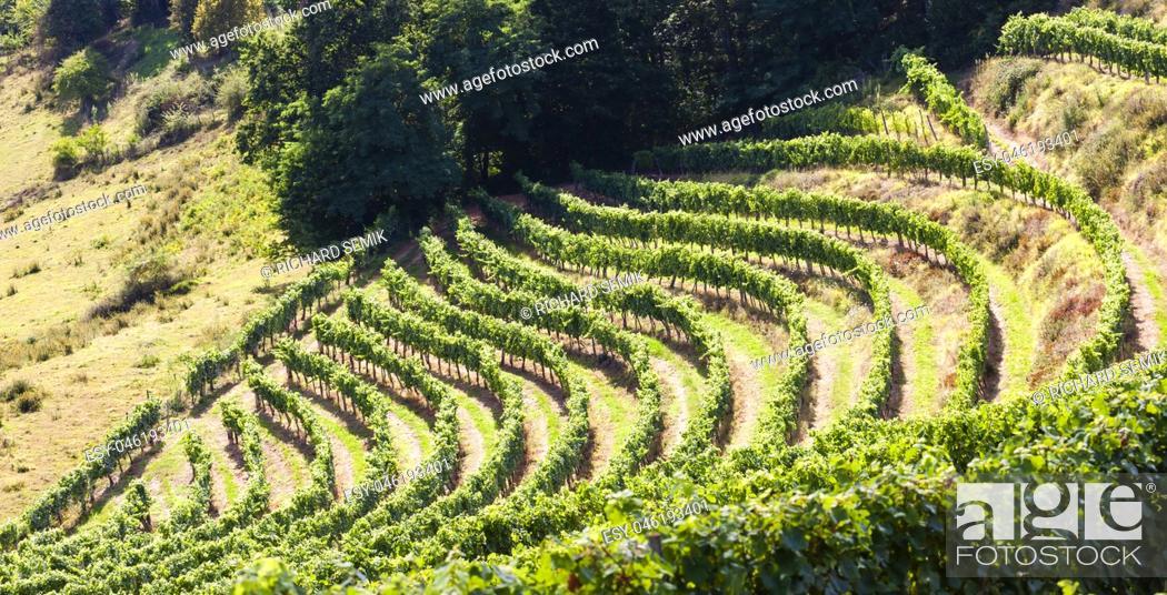 Stock Photo: vineyard, Jurancon, France.