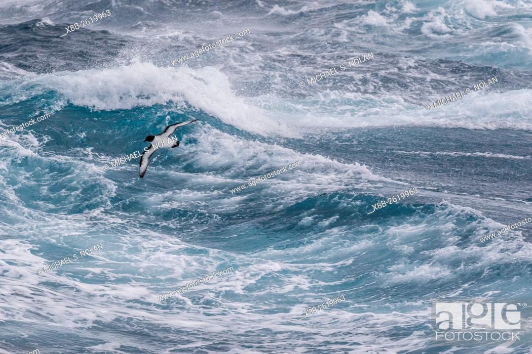Stock Photo: Adult cape petrel, Daption capense, in rough seas in English Strait, South Shetland Islands, Antarctica.