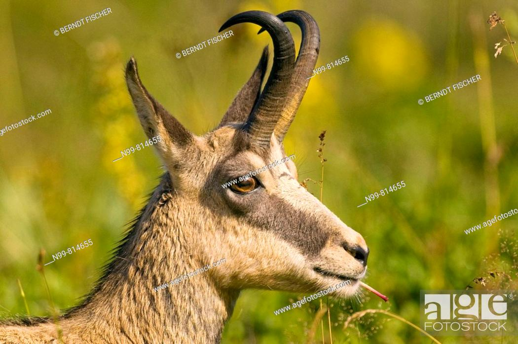 Stock Photo: Chamois (Rupicapra rupicapra), portrait of a buck, feeding on plants, Hohneck, Vosges mountains, Alsace, France.