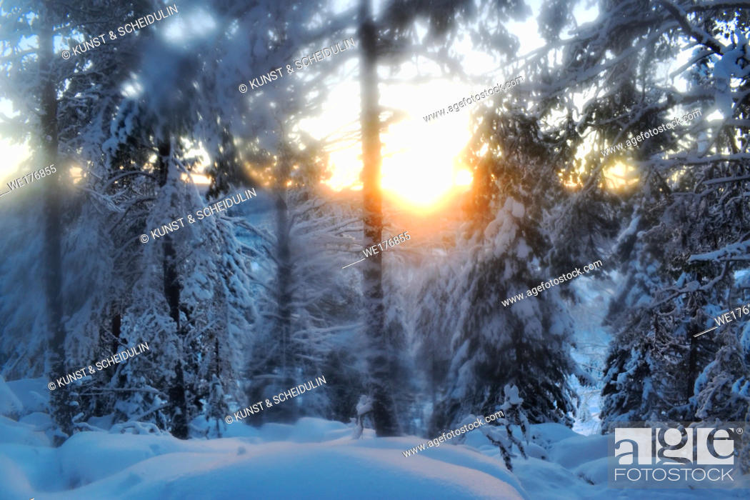 Stock Photo: Snow-clad trees in a softwood forest on a cold and sunny winter day, soft.