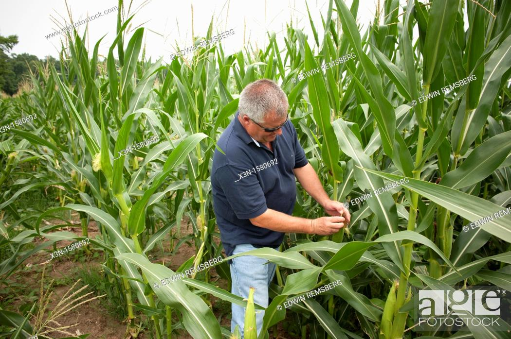 Stock Photo: Vegetable producer inspecting corn stalks in field on farm in Charles County Maryland USA.