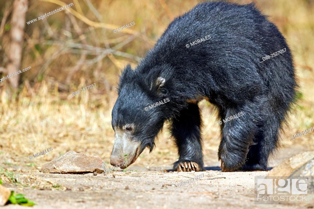 Imagen: Asia, India, Karnataka, Sandur Mountain Range, Sloth bear Melursus ursinus.