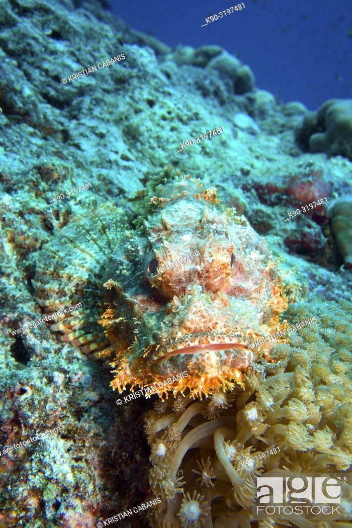 Stock Photo: Tassled Scorpionfish (Scorpeenopsis oxycephale) laying on the reef and waiting for prey, Indian Ocean, Maldives, South Asia.