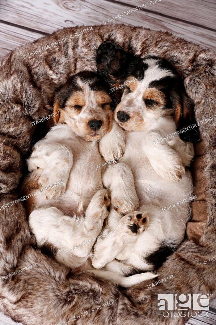 Stock Photo: 2 sleeping English Cocker Spaniel Puppies.