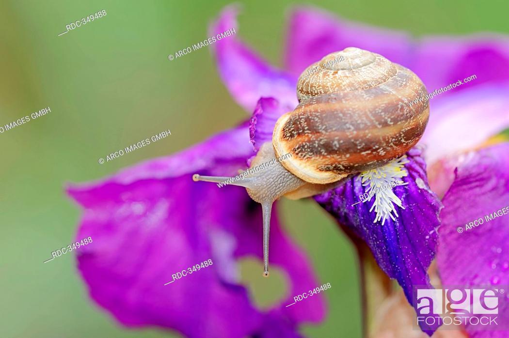Stock Photo: Brown Garden Snail on Iris, Provence, Southern France / Cornu aspersum, Cryptomphalus aspersus, Helix aspersa, Iris spec.
