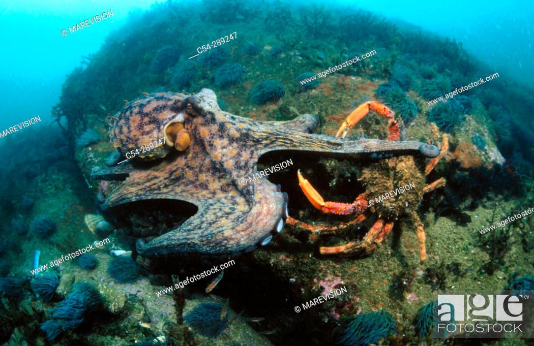 Stock Photo: Common Octopus (Octopus vulgaris) and Spider Crab (Maja squinado).