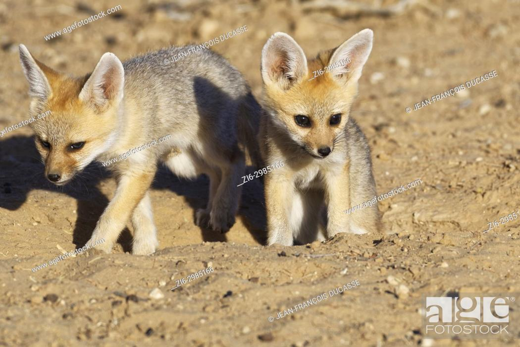 Stock Photo: Cape fox (Vulpes chama), two cubs getting out of den, evening light, Kgalagadi Transfrontier Park, Northern Cape, South Africa, Africa.