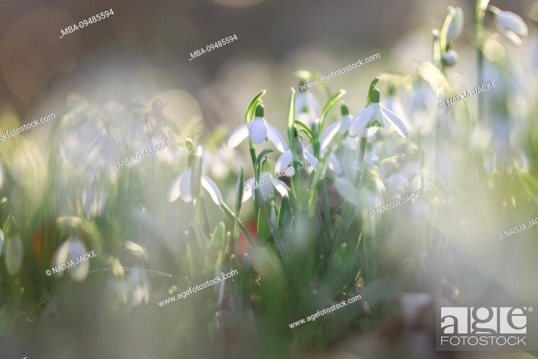 Stock Photo: Snowdrop, Galanthus, close-up.