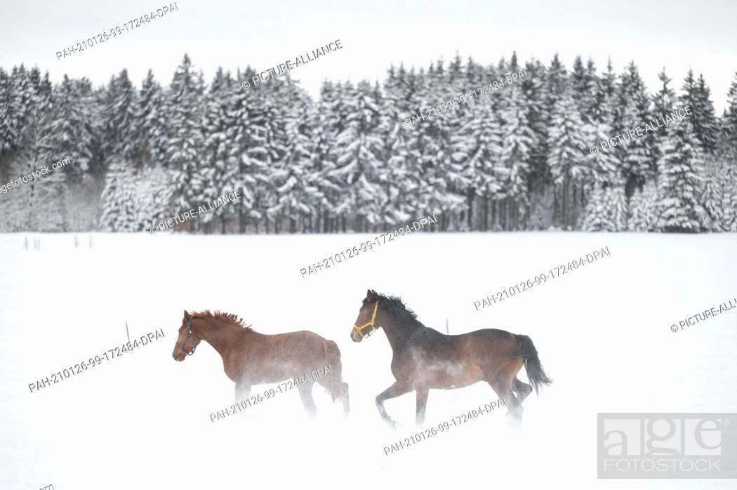 Imagen: 26 January 2021, Baden-Wuerttemberg, Albstadt: Two horses playing in the snow in a paddock in the Swabian Alb. Photo: Marijan Murat/dpa.