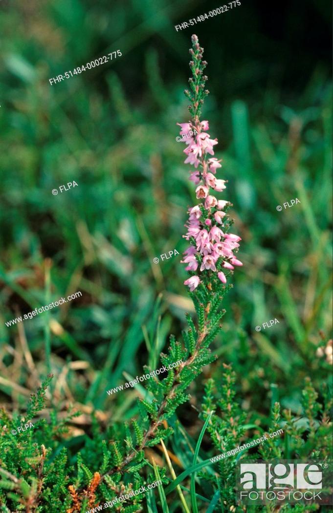 Stock Photo: Common Heather Calluna vulgaris flowering.