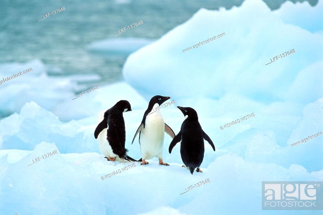 Imagen: Adelie Penguins on icefloe, Pygoscelis adeliae, Antarctica.