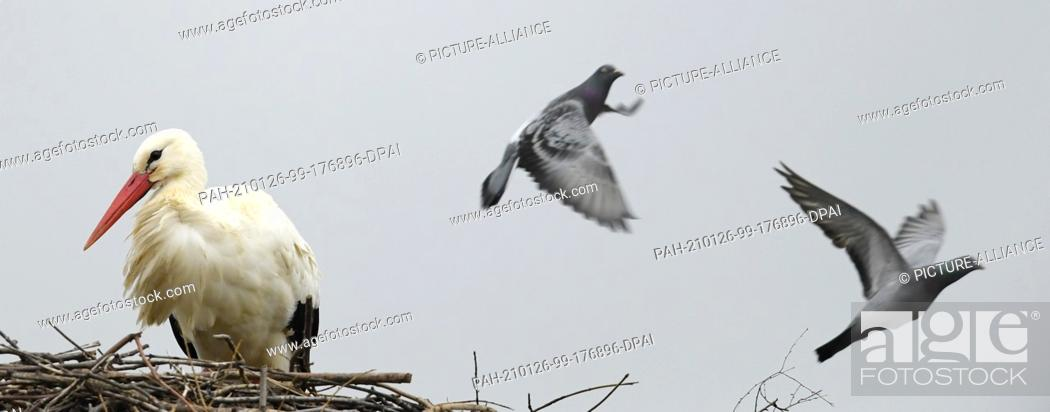 Imagen: 26 January 2021, Hessen, Bensheim: While a white stork has moved into its nest, two pigeons fly by. Photo: Arne Dedert/dpa. - Bensheim/Hessen/Germany.