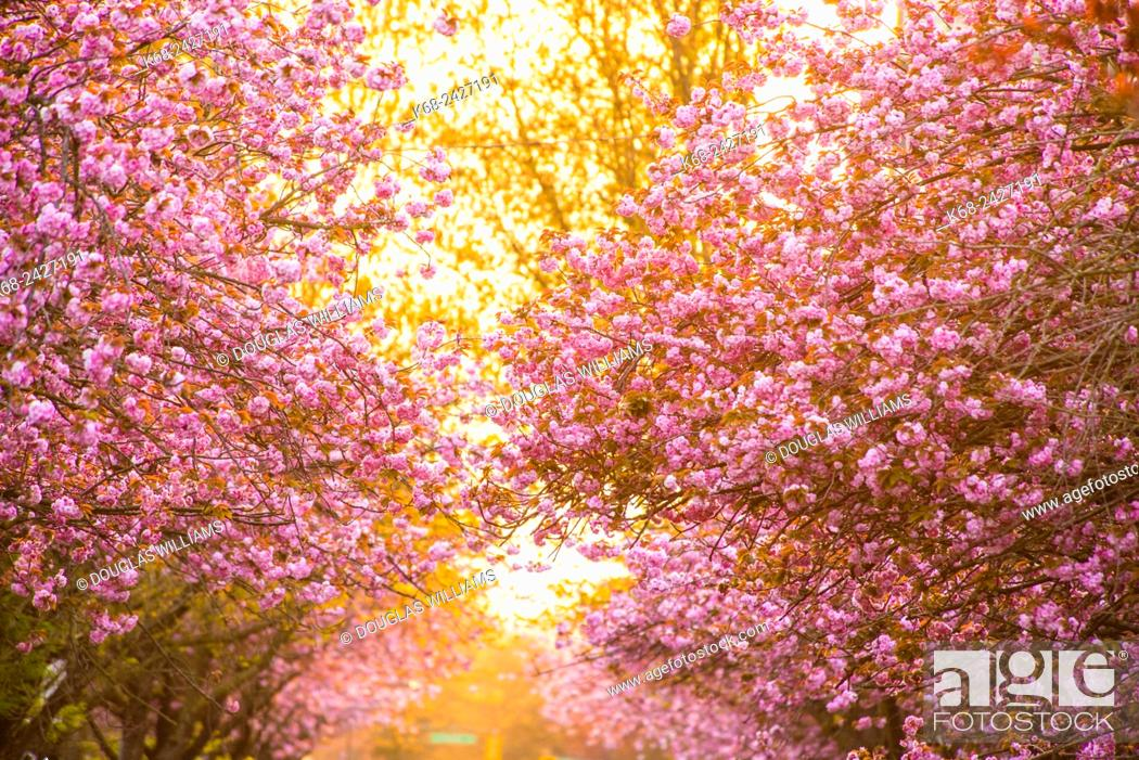 Stock Photo: blossoming cherry trees on West 7 Avenue in Vancouver, BC, Canada.