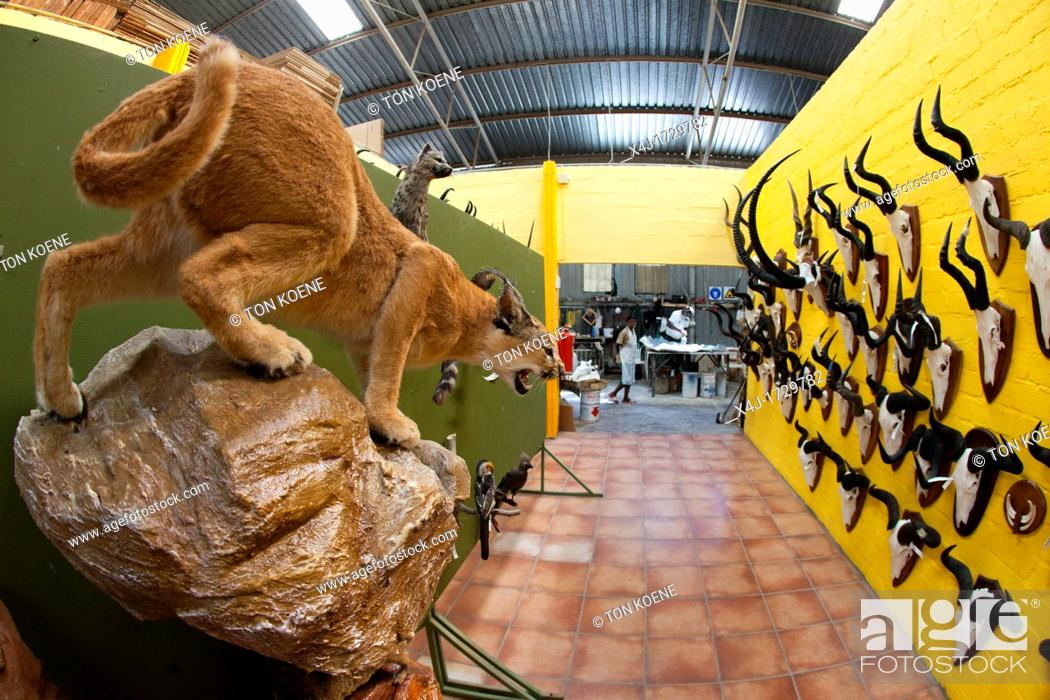 Stock Photo: taxidermy  Hunters from US and Germany shoot wildlife and stuff it as a trophy in a taxidermy workshop in Namibia.