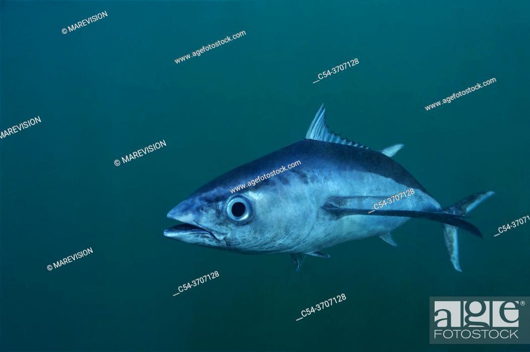 Stock Photo: Albacore tuna fish. Longfin tuna. Long finned tuna. White tuna (Thunnus alalunga). Eastern Atlantic. Galicia. Spain. Europe.