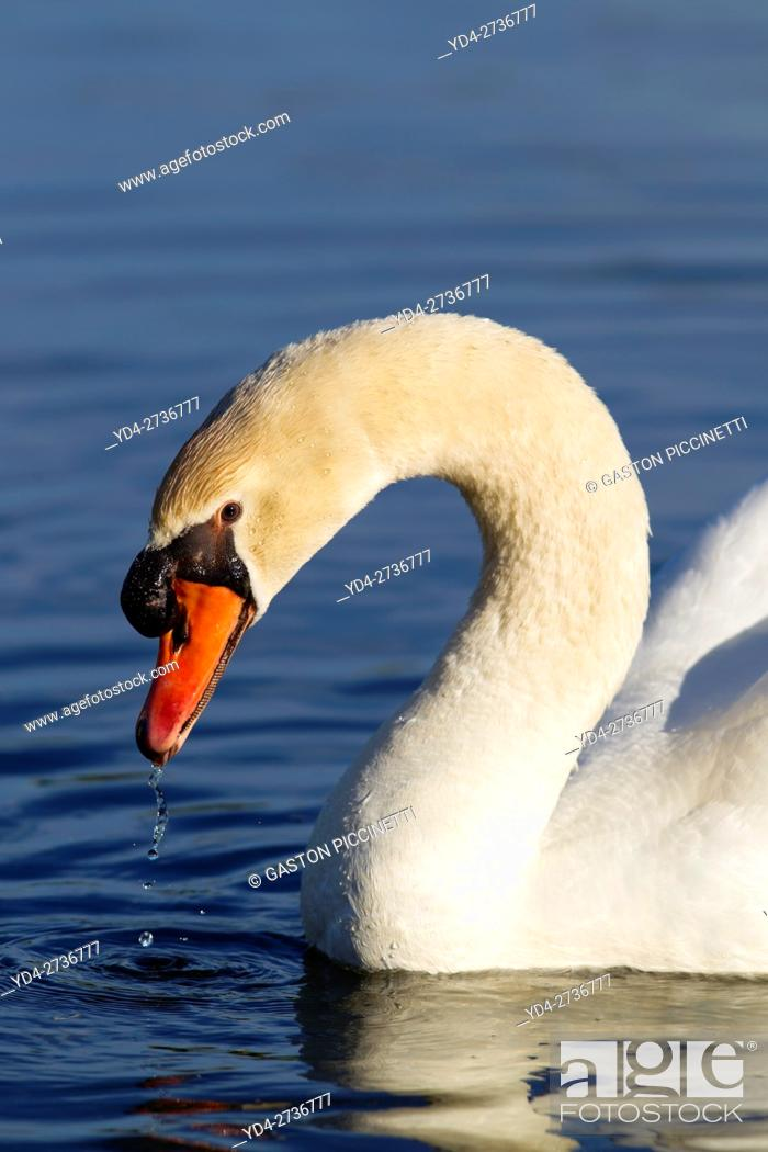 Stock Photo: Mute swan (Cygnus olor), in the pond, Rising Sun, Indiana, USA.