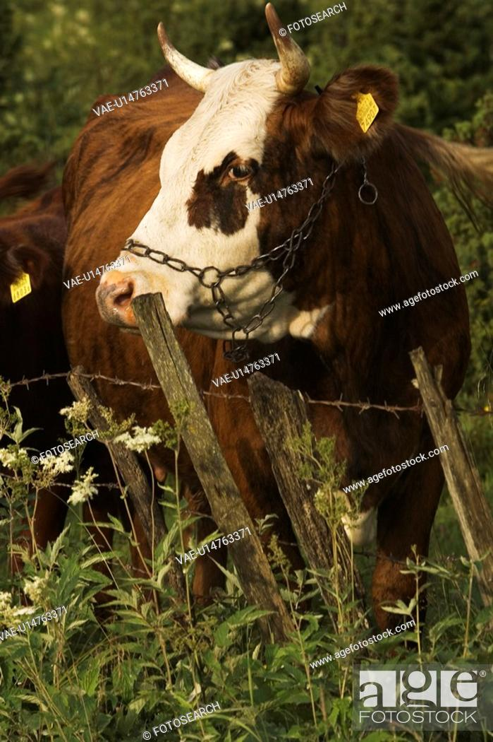 Stock Photo: Bovine, Cow, Close-Up, Chain, Animal.