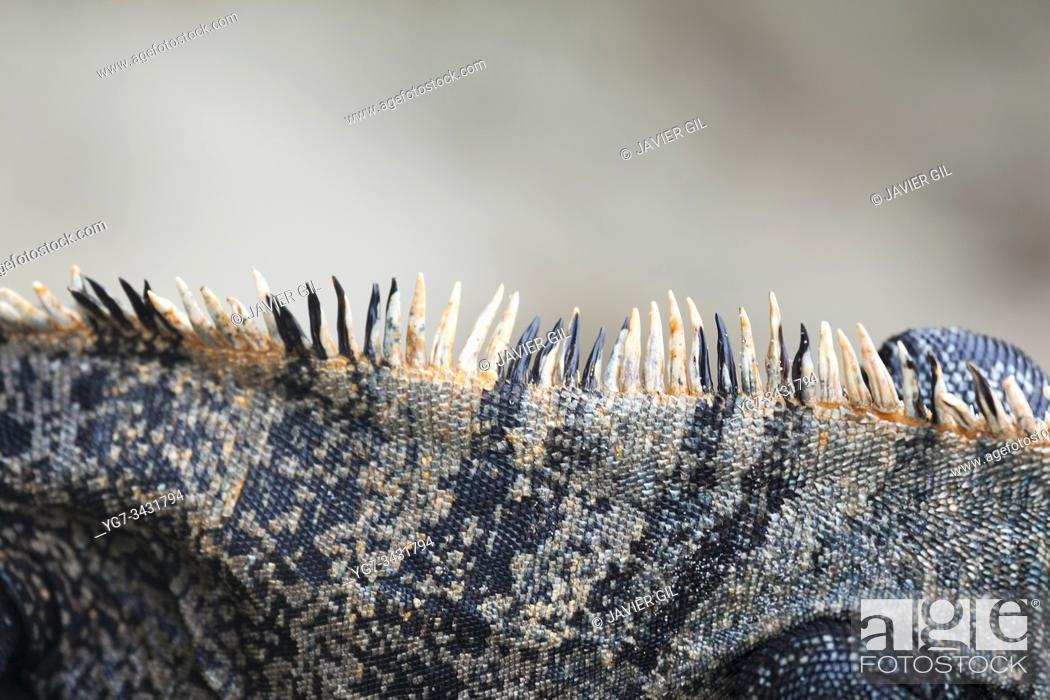 Stock Photo: Crest of Black Iguana (Ctenosaura similis), Manuel Antonio National Park, Costa Rica.