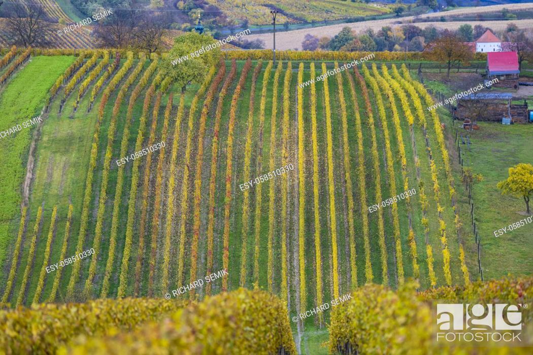 Imagen: Autumn vineyard near Cejkovice, Southern Moravia, Czech Republic.