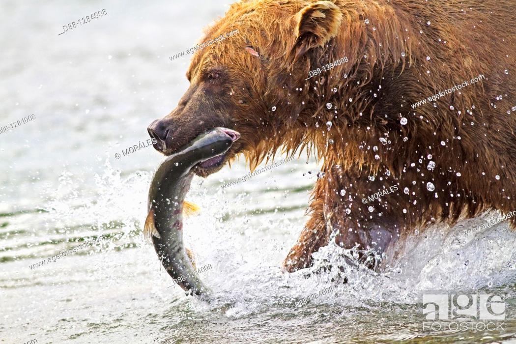 Stock Photo: Alaska , Katmai National Park and Preserve , McNeil River Bear Viewing and Wildlife Sanctuary , falls of the Mc Neil river.