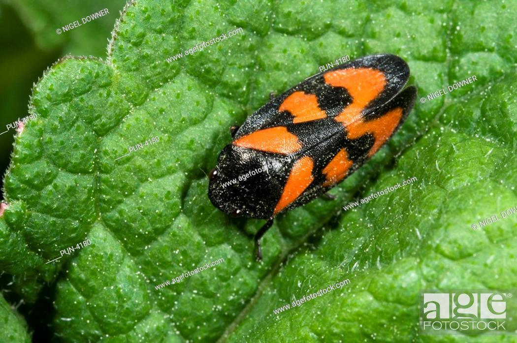 Stock Photo: Froghopper Cercopis vulnerata On leaf in marshy habitat.