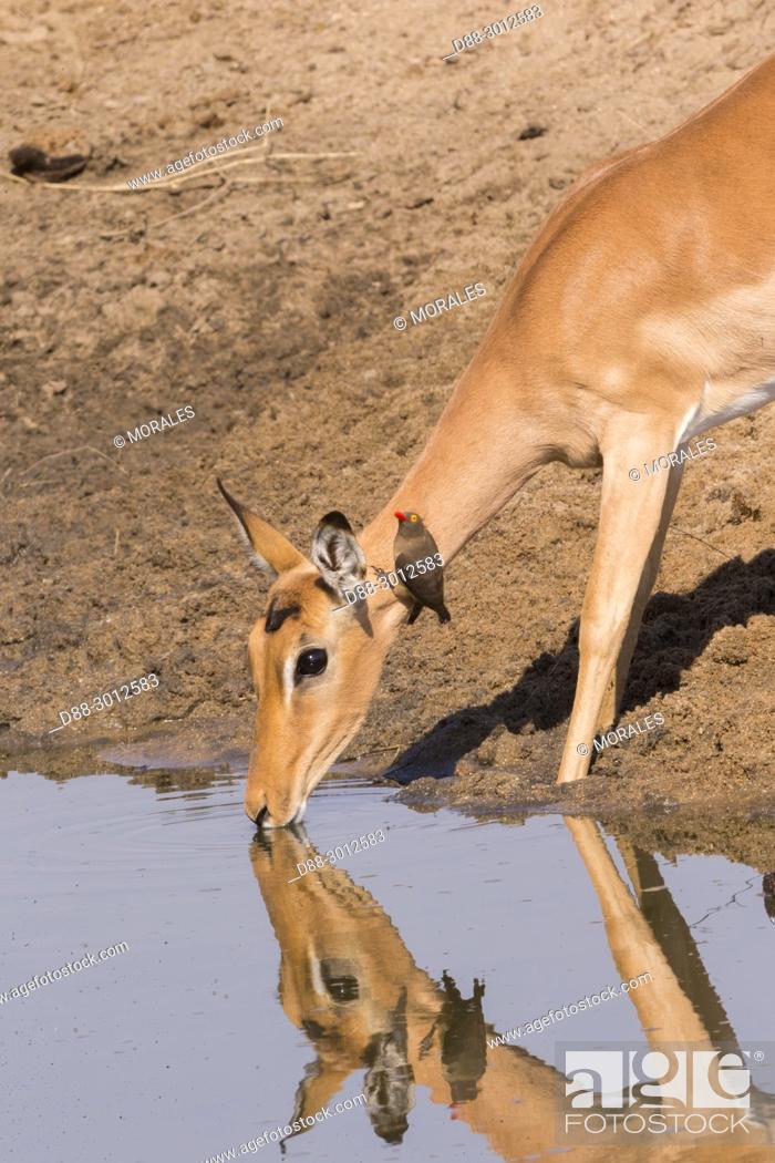 Stock Photo: Africa, Southern Africa, South African Republic, Mala Mala game reserve, Impala (Aepyceros melampus), adult female drinking.