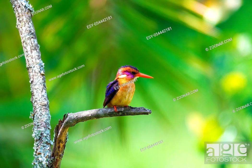 Stock Photo: small bird African pygmy kingfisher (Ispidina picta) is a small insectivorous kingfisher, Wondo Genet, Ethiopia Africa safari wildlife.