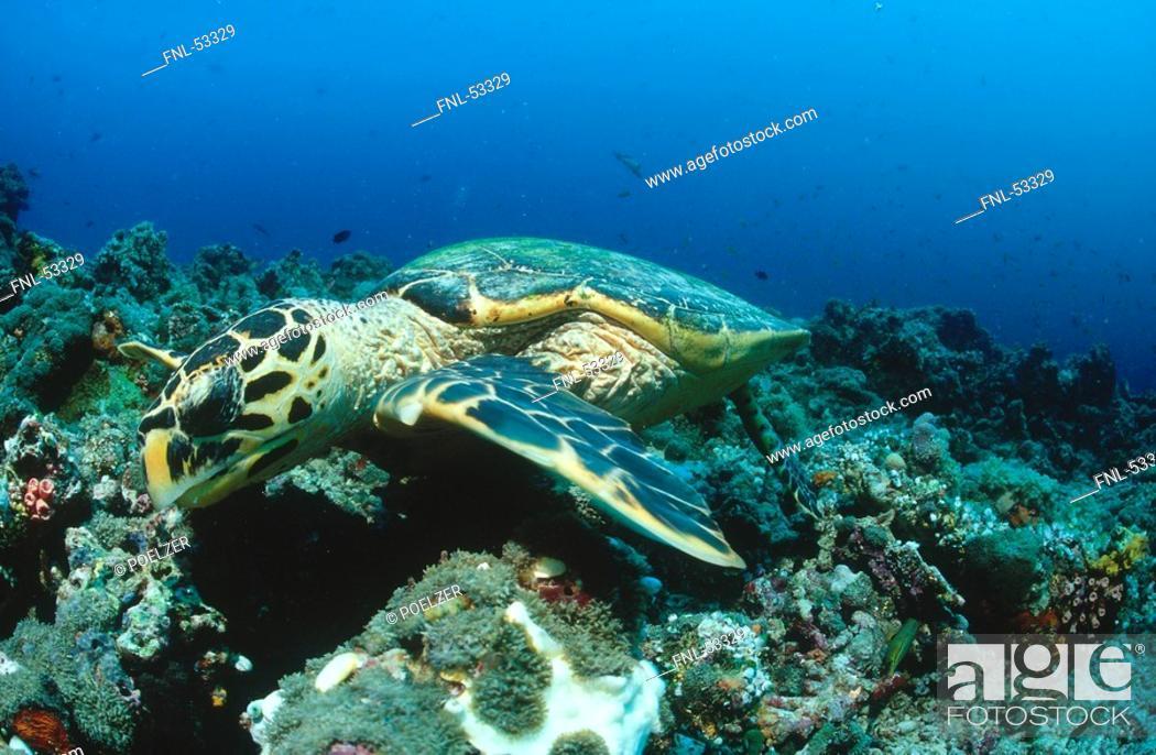 Stock Photo: Hawksbill turtle Eretmochelys imbricata swimming underwater, Maldives.