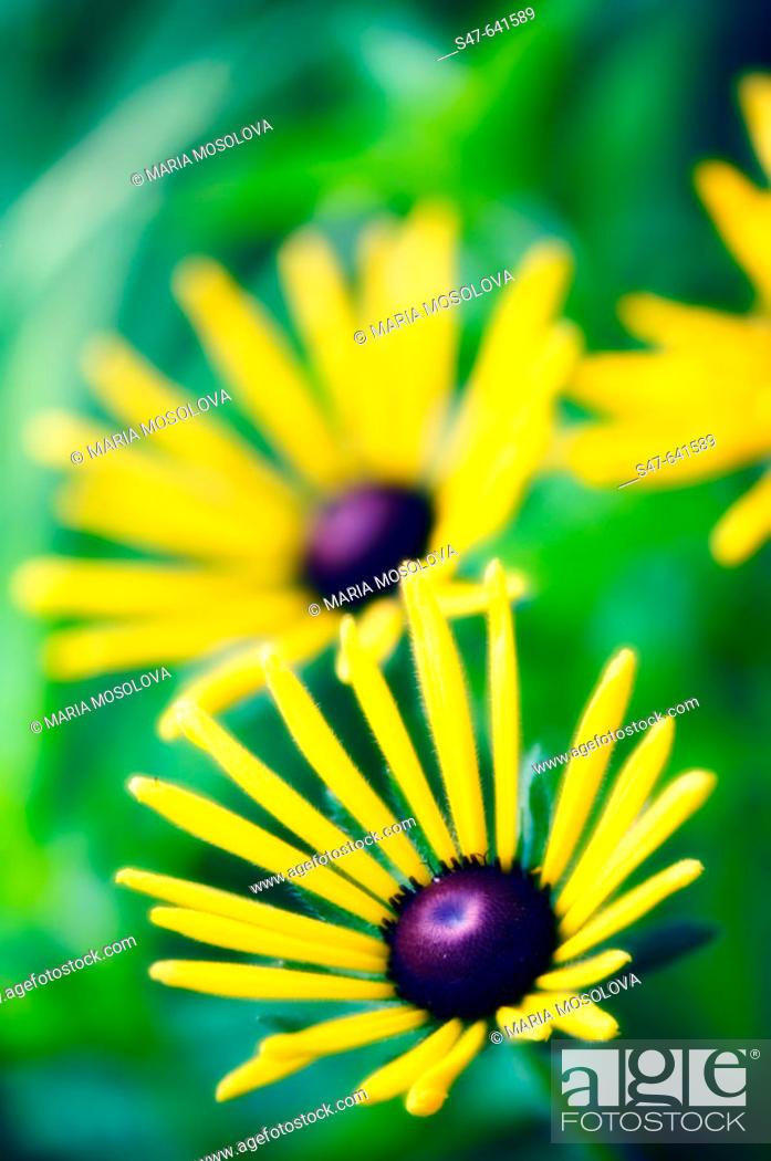 Stock Photo: Black Eyed Susan Daisies. Rudbeckia hirta. July 2006. Maryland, USA.