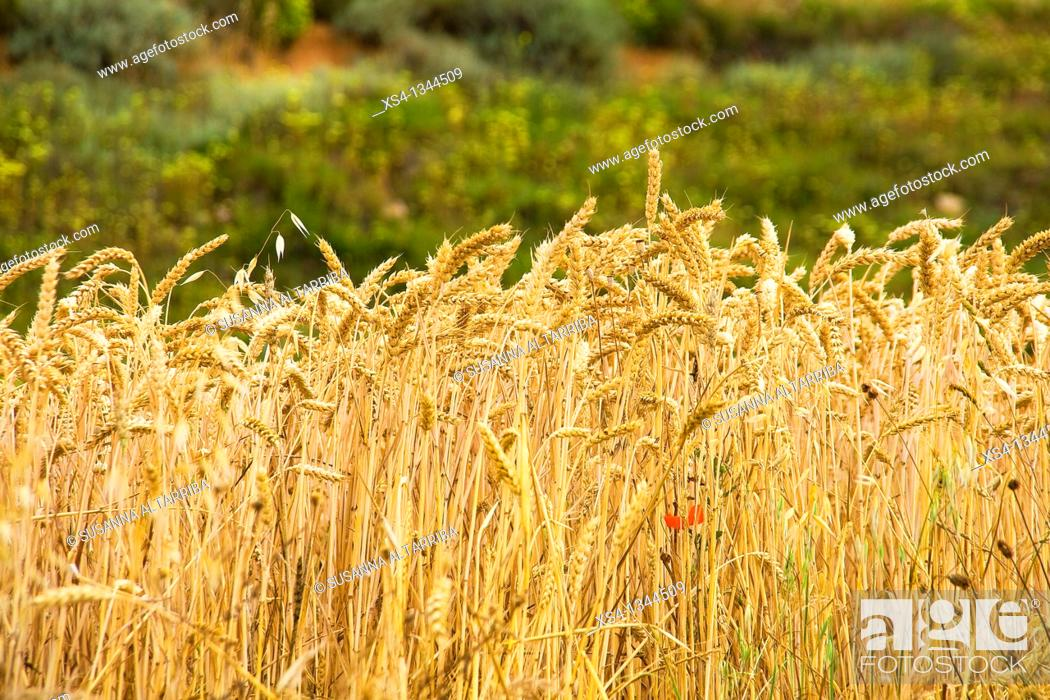 Stock Photo: Ripe Wheat - Triticum. Photo taken in Solsonès, Lleida, Spain, Europe.