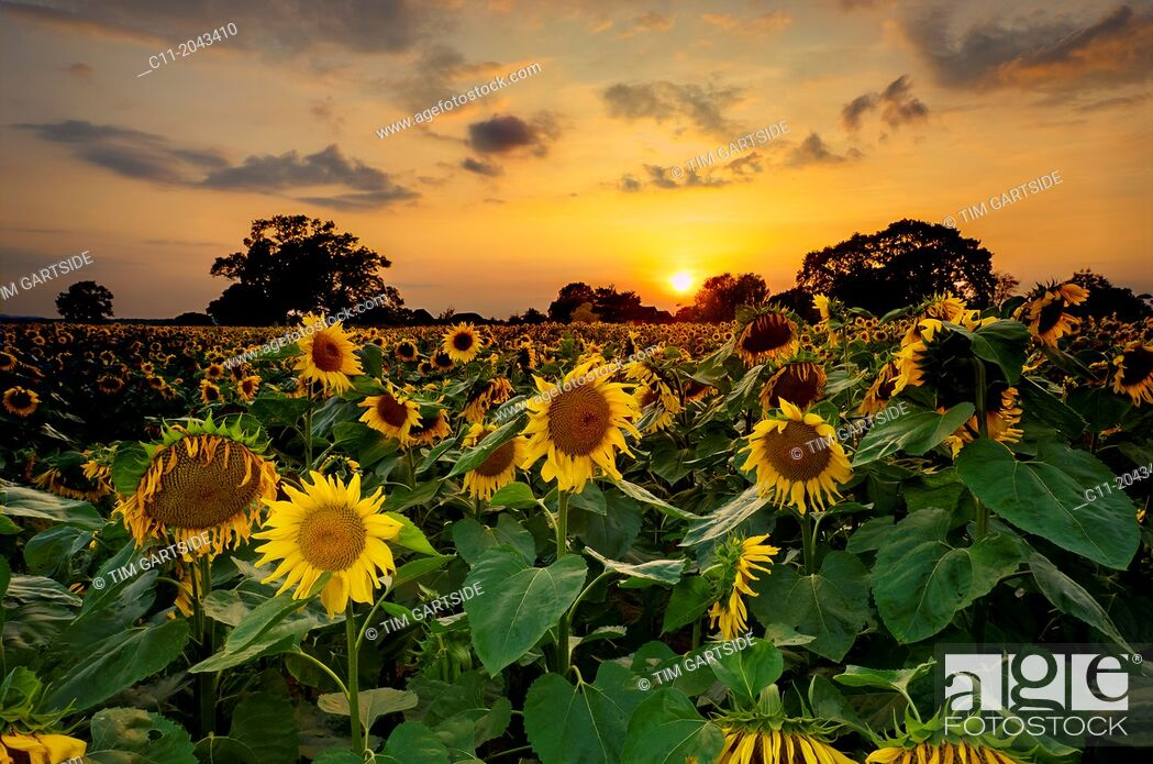 Stock Photo: sunflowers in field, East Sussex, England, UK, Europe.