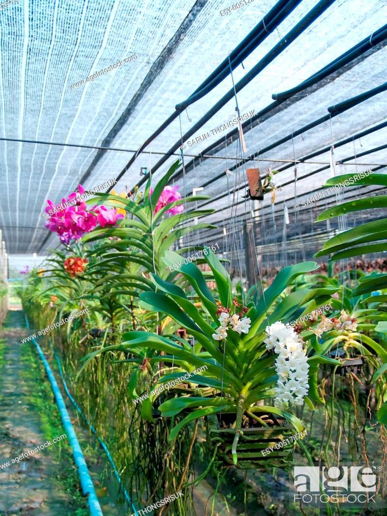 Stock Photo: Orchid plant nursery.
