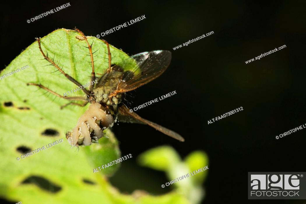 Stock Photo: Hoverfly Diptera syriphidae killed by parasitic fungus.