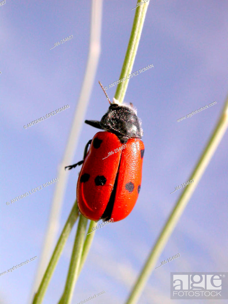 Stock Photo: Beetle (Clytra quadripunctata).