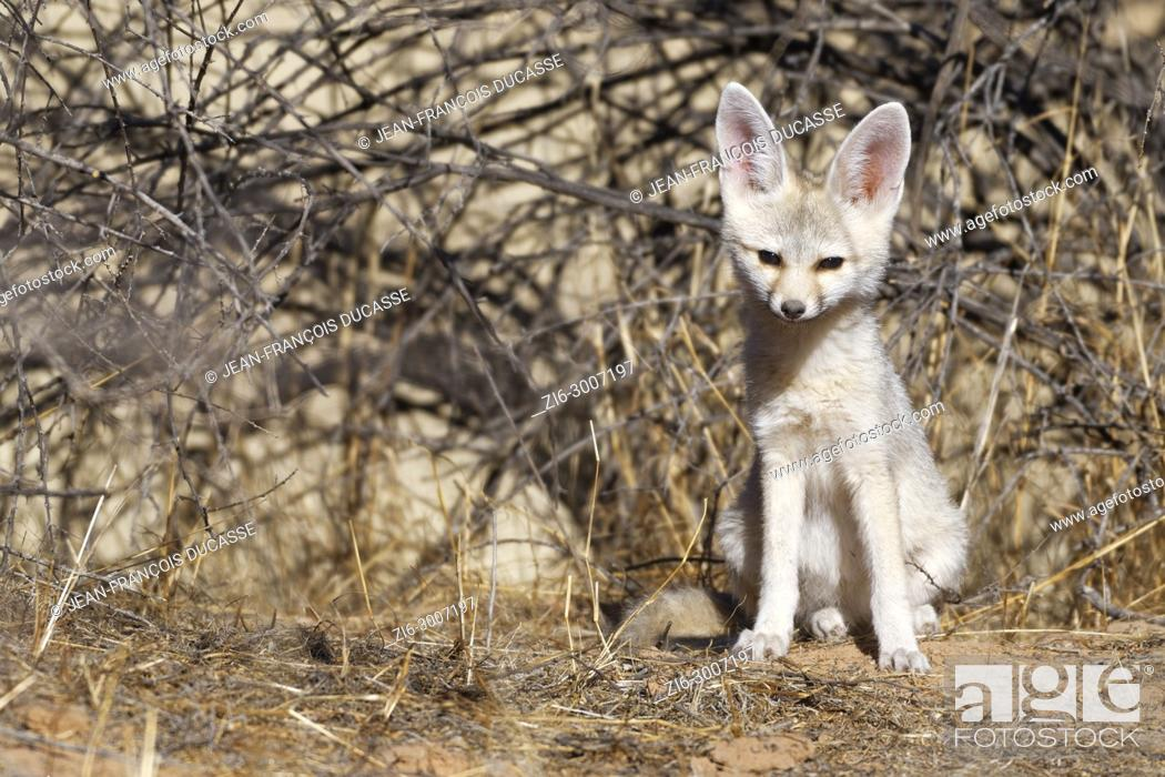 Stock Photo: Cape fox (Vulpes chama), young male sitting at den early in the morning, alert, Kgalagadi Transfrontier Park, Northern Cape, South Africa, Africa.