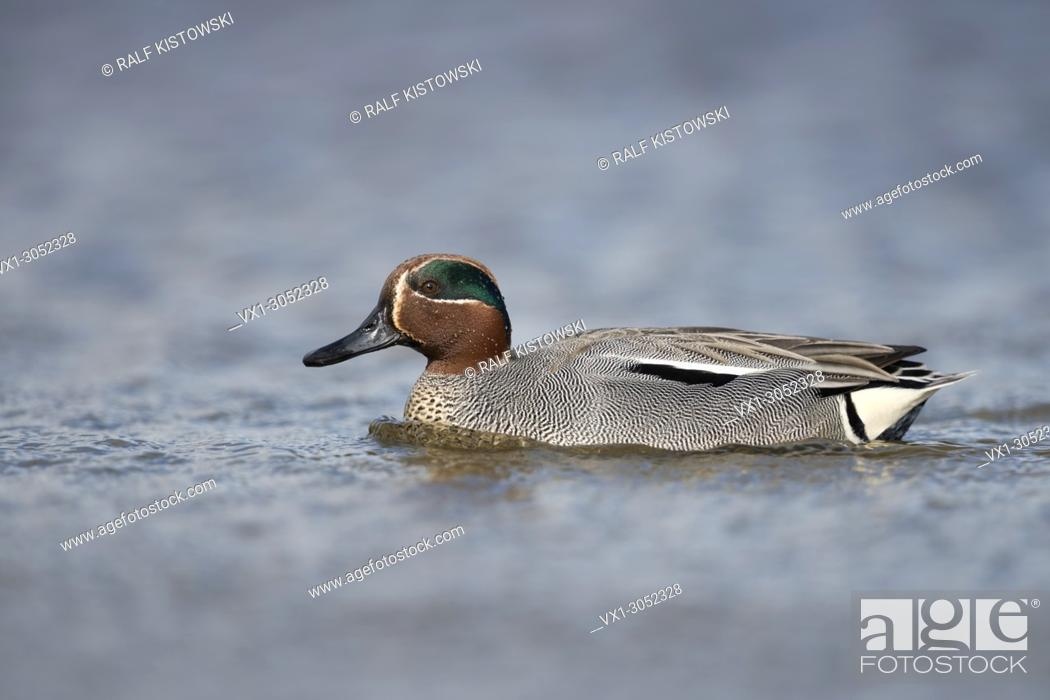 Stock Photo: Teal ( Anas crecca ), drake, in colourful breeding dress, swimming close by, perfect side view, wildlife, Europe.