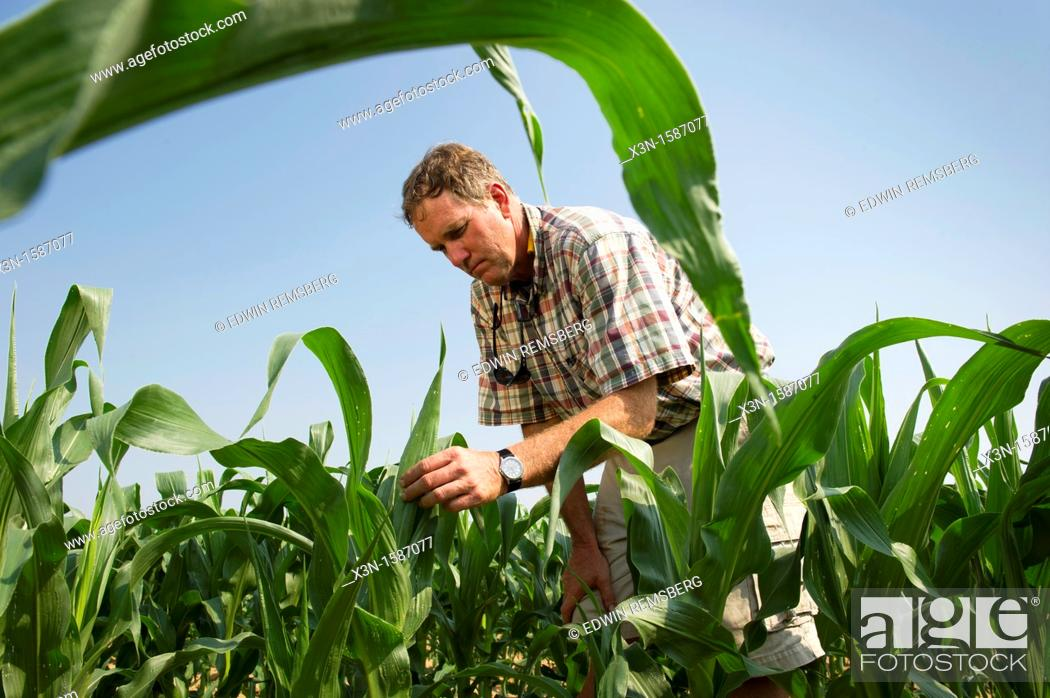 Stock Photo: Vegetable producer inspecting corn stalks in field on farm in Queen Anne's County Maryland USA.