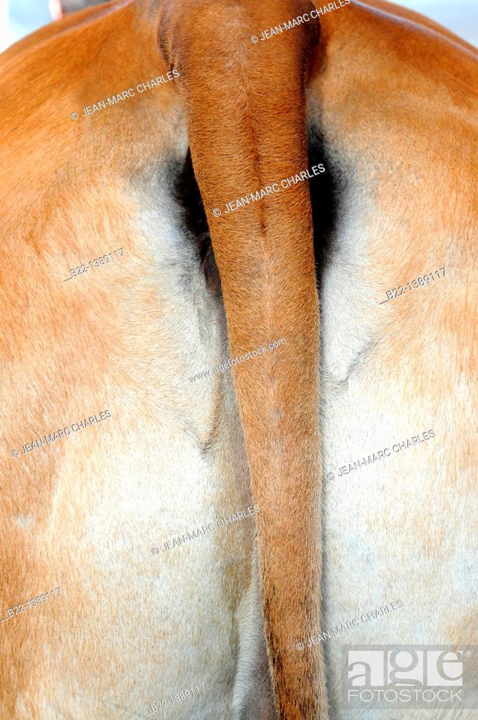 Stock Photo: Steer, ox, bullock, Agricultural show, Salon de l'Agriculture, Paris, France.
