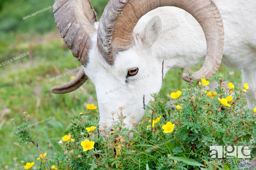 Stock Photo: Close up of a Dall Sheep grazing on flowers in Polychrome Pass, Denali National Park & Preserve, Interior Alaska, Summer.