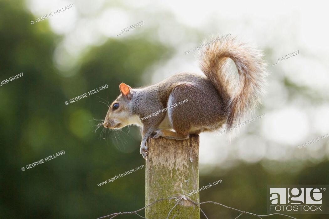 Stock Photo: Grey squirrel (Sciurus carolinensis) on post. UK.
