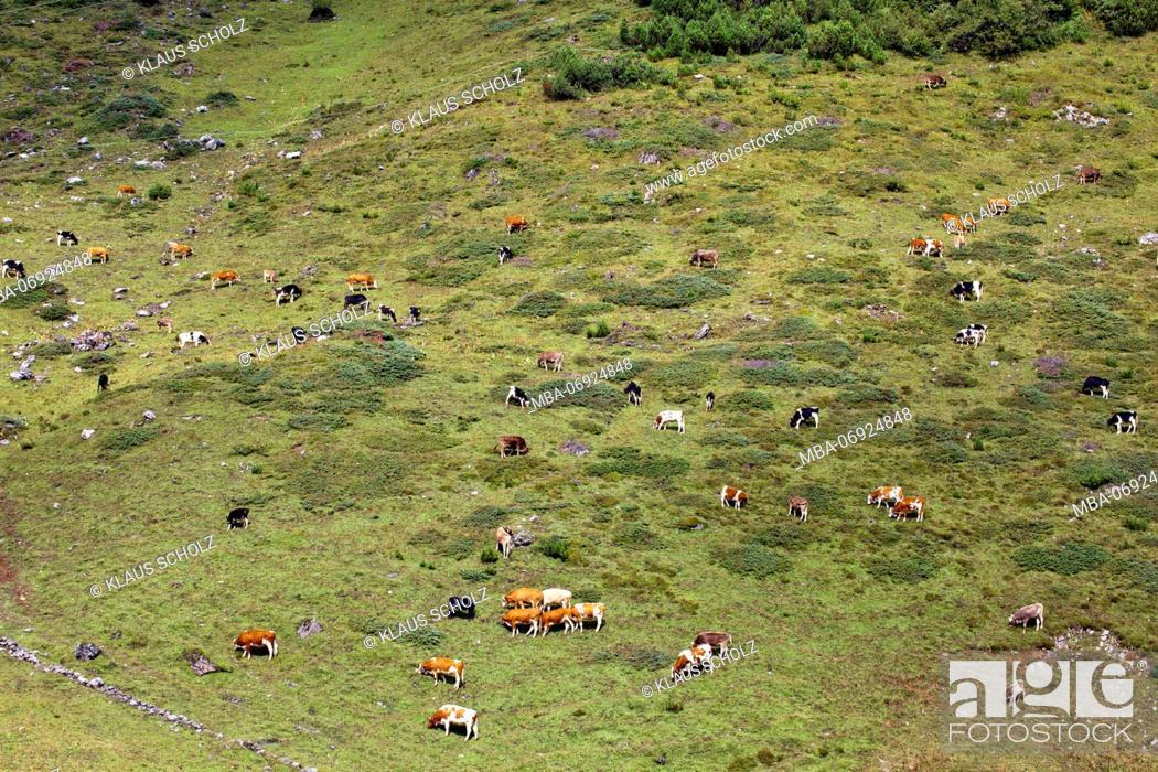 Stock Photo: herd of cattle on alpine pasture.