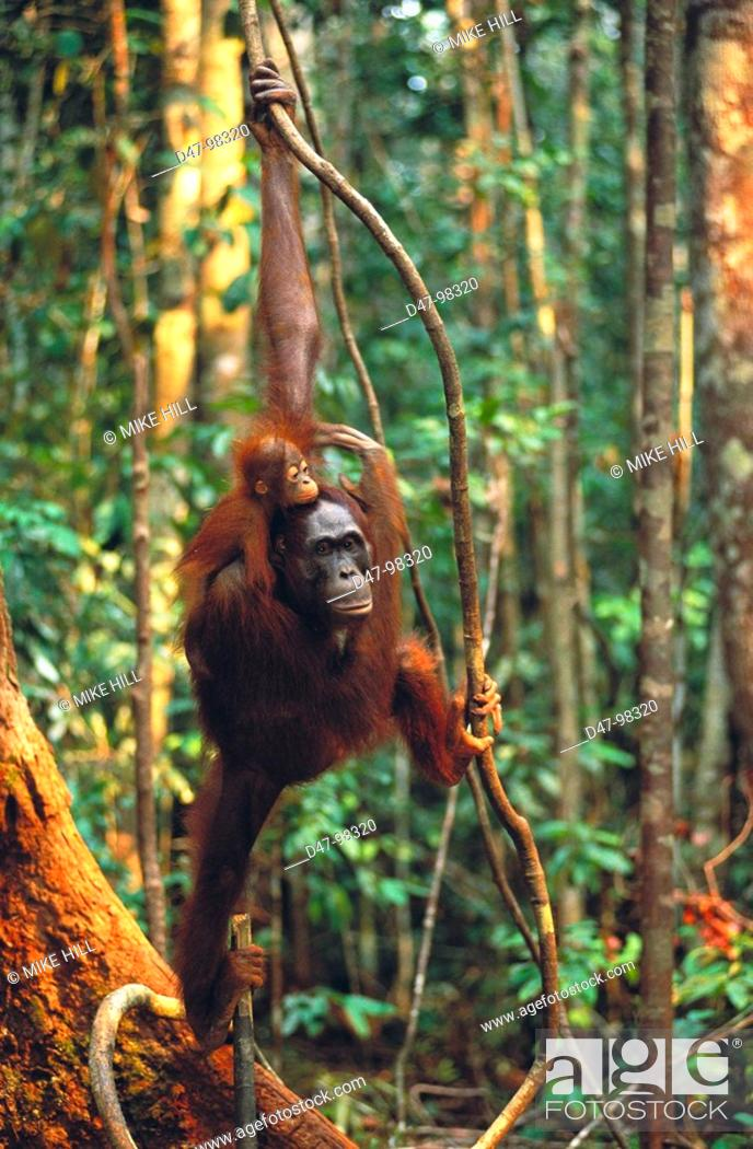 Stock Photo: Bornean Orangutan (Pongo pygmaeus), adult and young in tree. Borneo.