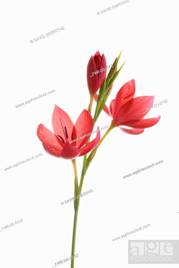 Imagen: Kaffir Lily, Schizostylis coccinea, Open deep pink flower heads on a single stem with filaments and stamen shot against a pure white background.