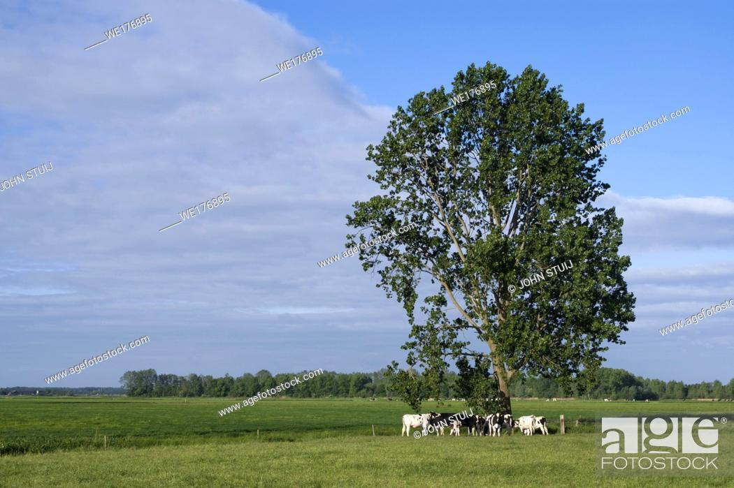 Stock Photo: Grazing cows under a tree in a meadow near the village Almkerk in the Dutch province Noord-Brabant.
